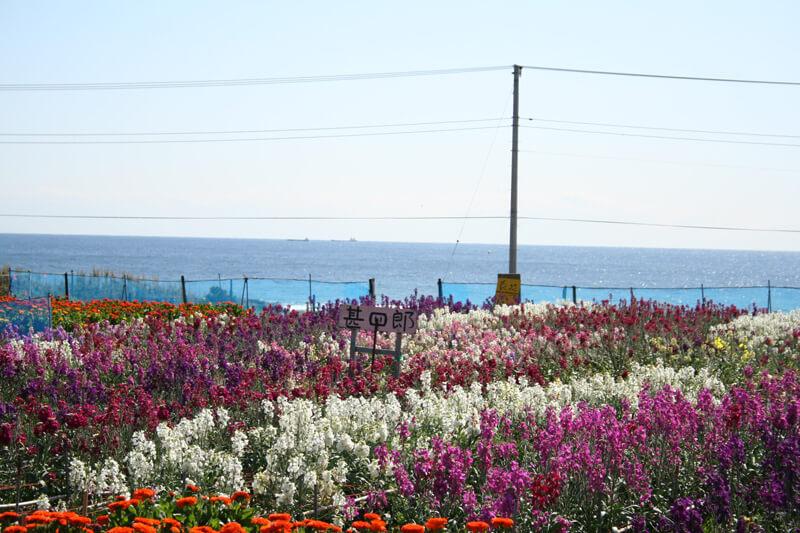 七浦地区で有名な露地花の栽培